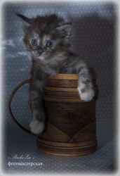 Ласковый гигант в шелковой шубке- котята породы мейн-кун