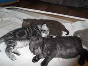 Продаю британских кошек короткошерстных