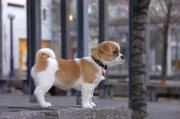 Очаровательны щенки чихуахуа бесплатно