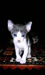 Богемные кошки породы английский Корниш-рекс
