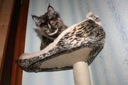 Шикарная кошка мейн-кун шоу-класса. Доставка