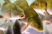 Рыбодобывающая компания продаст свежую Рыбу Стерлядь Жерех Судак Сом
